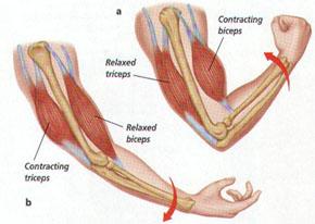 största musklerna i vår kropp
