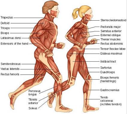 muskler i kroppen navn norsk nakenmodell